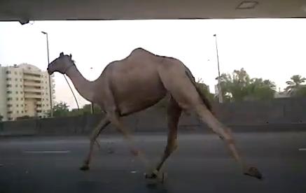 Muchos conductores deberían de aprender de este camello y circular por su carril