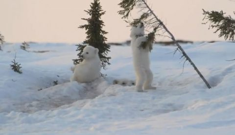 No hay nada más adorable que ver jugar a dos crías de oso polar