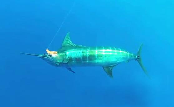 Está grabando un Marlin cuando de repente un tiburón lo sorprende por detrás