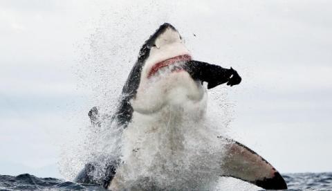 Fotografías de un tiburçon blanco atacando fuera del agua