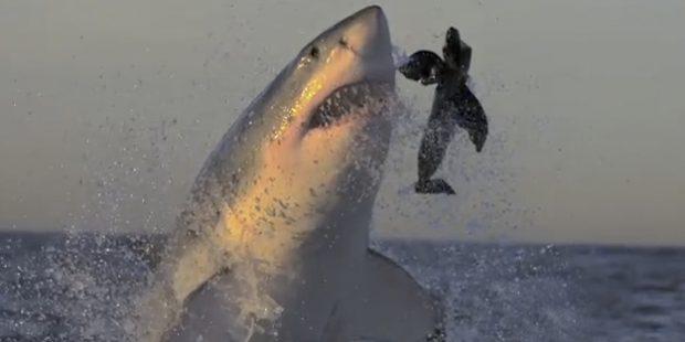 Tiburones blancos atacando a cámara lenta