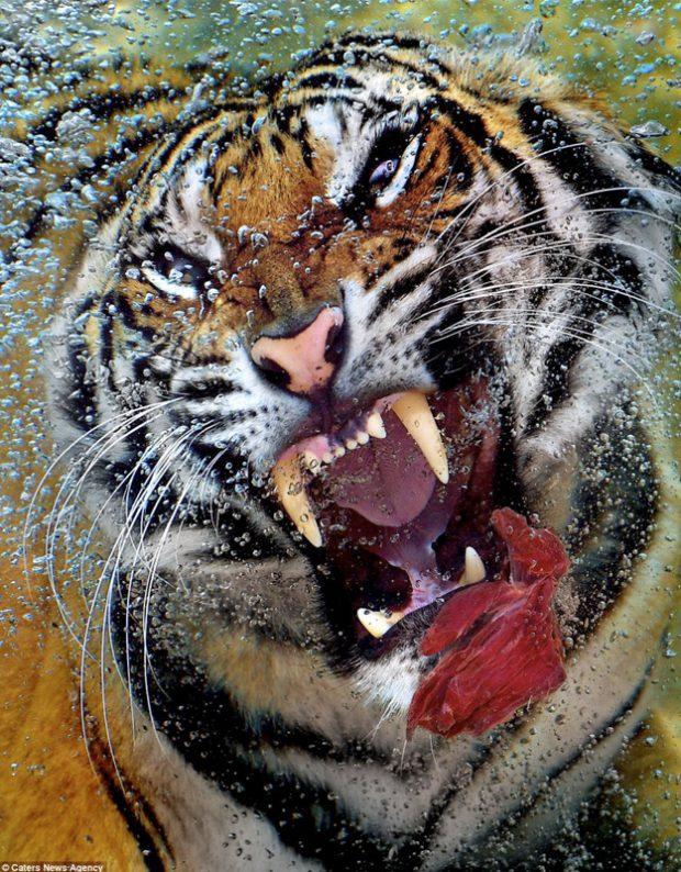 Impresionantes fotos de un tigre atrapando un trozo de carne cruda debajo del agua