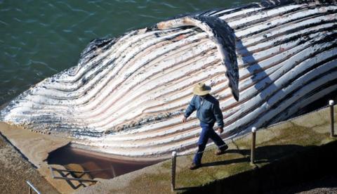 Encuentran una ballena de 30 toneladas muerta en una playa de Australia
