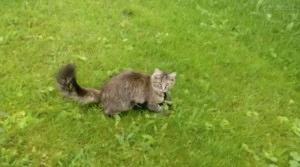 La inteligencia de las urracas supera a la de los gatos