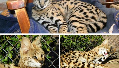 Una mujer lucha por recuperar a su gata doméstica Shila, incautada en Uruguay al confundirla con un felino salvaje