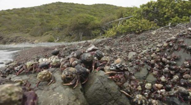 La migración de 1.000.000 de cangrejos ermitaños