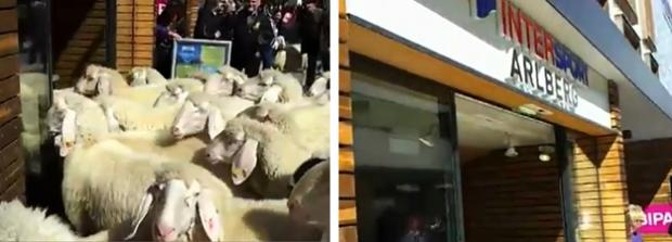 Un rebaño de ovejas invade una tienda de Intersport en Austria