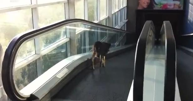 Un perro se confunde de lado en las escaleras mecánicas