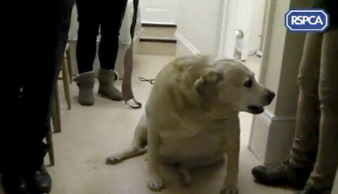 Alfie, el perro más gordo de Reino Unido