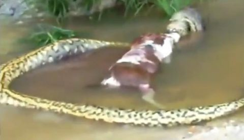 Impactante momento en el que una anaconda gigante regurgita a una vaca en Brasil