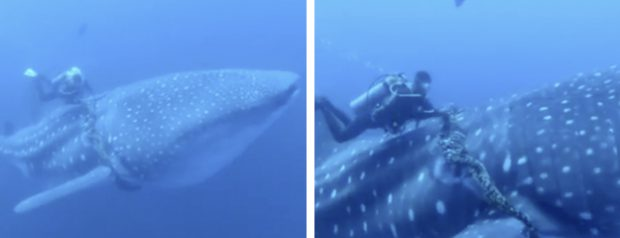 Unos buzos liberan a un tiburón ballena de una cuerda gruesa que tenía alrededor de su cuerpo