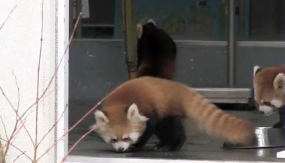 Un panda rojo bebé se lleva un buen susto