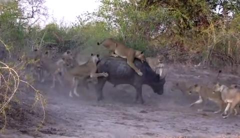 20 leones atacan y se comen a un búfalo