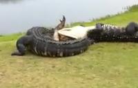 Graba una pelea de cocodrilos mientras estaba jugando al golf en Florida