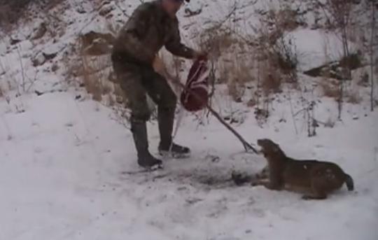 Un hombre libera a un gato montés que se quedó atrapado en una trampa