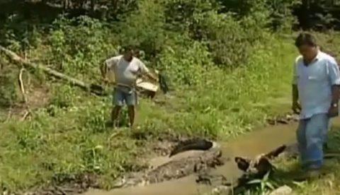 Un alligator le perdona la vida a un hombre