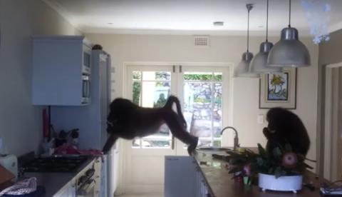 Unos babuinos se cuelan en una casa, la saquean y se cagan en todas partes