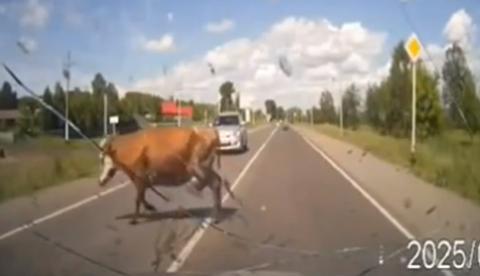 Atropella a una vaca a la que un toro estaba tratando de montar