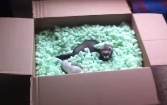 Hurones jugando con los cacahuetes de embalaje