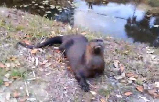 Una cría de nutria se acerca a los humanos y empieza a jugar como un perro