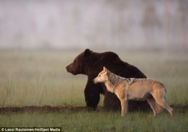 Un fotógrafo capta imágenes de amistad entre un oso y un lobo que comparten la cena durante varias noches