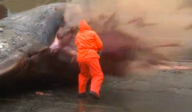 Una ballena le explota en la cara a un hombre en las Islas Feroe