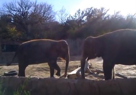 Un elefante intenta romper un palo, no lo consigue y esta es su reacción