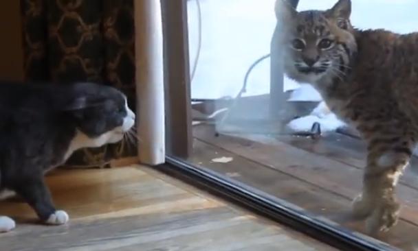 Los gritos histéricos del gato pueden con el lince