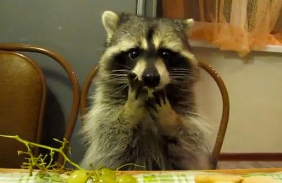 Mapache comiendo uvas