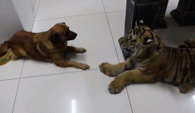 Un perro le enseña a un tigre quien es el que manda