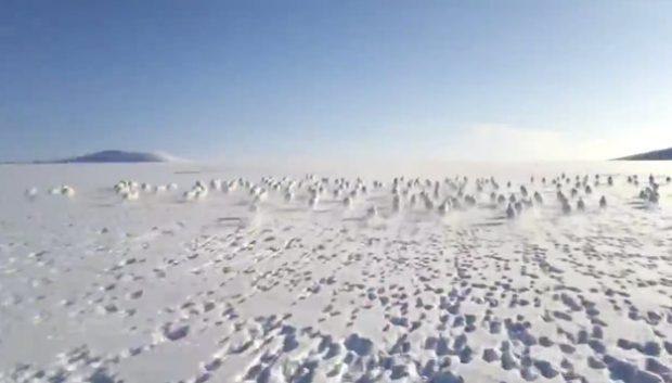 Increíble estampida de conejos polares en la esta rusa