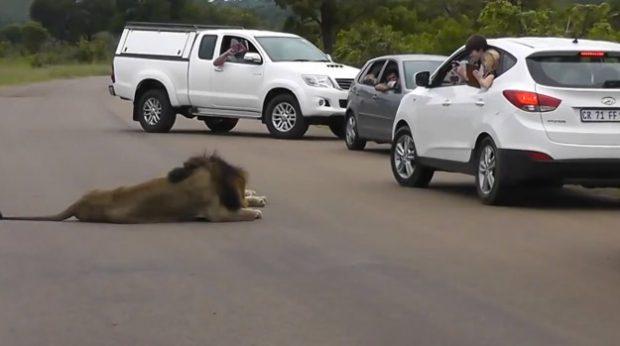 Niños jugándosela al grabar a dos leones por fuera de la ventanilla del coche