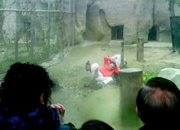 Un hombre deprimido se mete en la jaula de los tigres para que se lo coman