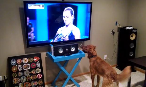 George, el Golden Retriever al que le encanta ver el tenis en la televisión