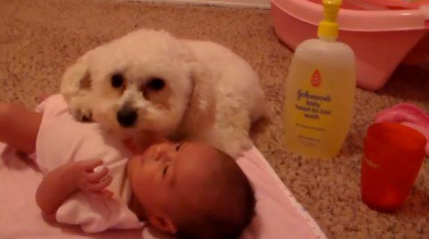 Perro protegiendo al bebé del secador del pelo