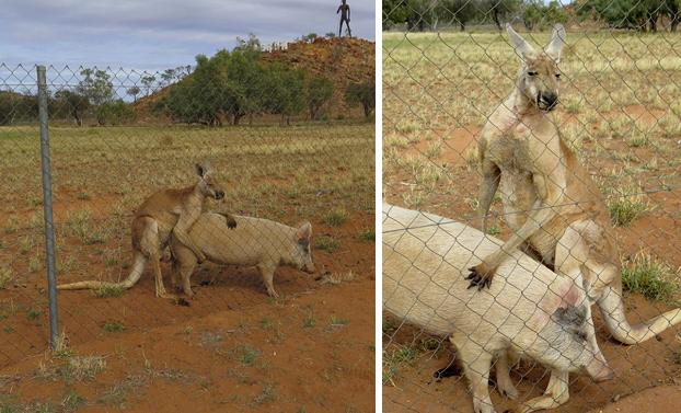 Un canguro y un cerdo llevan más de un año manteniendo relaciones sexuales