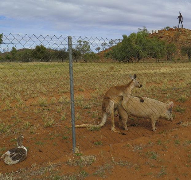 canguro-relaciones-cerdo-10