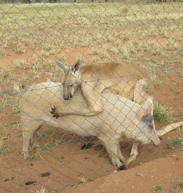 canguro-relaciones-cerdo-6