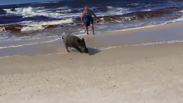 Cuando estás tranquilamente en la playa y ves que un jabalí sale del agua hacia ti