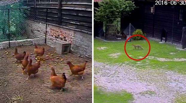 Un perro salva a una gallinas justo en el momento en el que iban a ser atacadas por un zorro