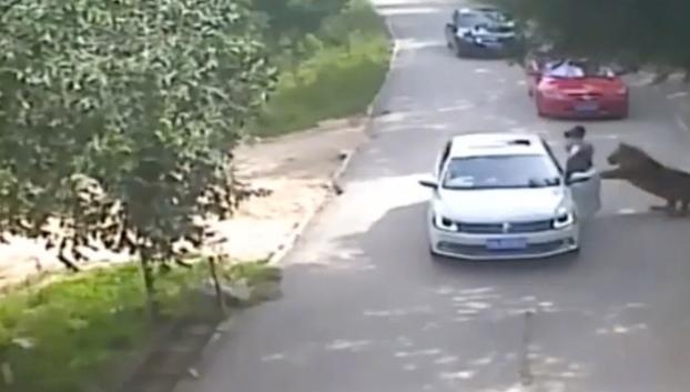 Un tigre mata a una mujer que ignoró las señales de advertencia del parque (Vídeo)