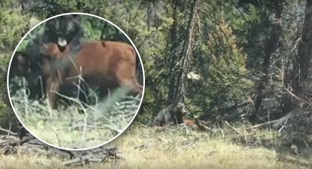 oso-pardo-ataca-vaca
