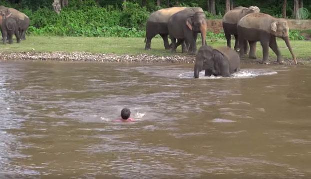 La nobleza animal: Esta elefanta se lanza al río para salvar a un hombre que era arrastrado por la corriente