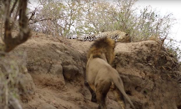 Acechando al enemigo: Un león ataca por sorpresa a un leopardo que está descansando