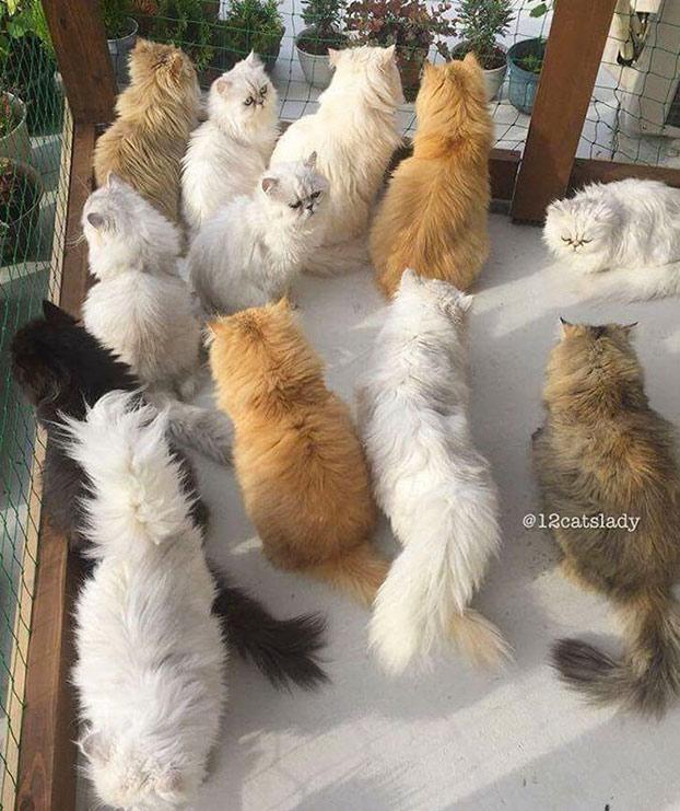 mujer-12-gatos-persas-12