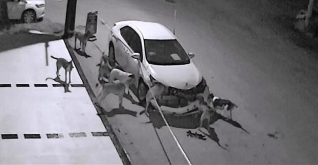 Una manada de perros callejeros es pillada in fraganti destrozando un coche