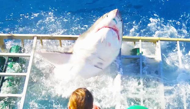 Un enorme tiburón blanco rompe la jaula donde nadaba un buzo