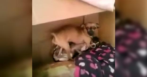 A este Chihuahua no le hace ni pizca de gracia que lo graben cuando está en lo suyo