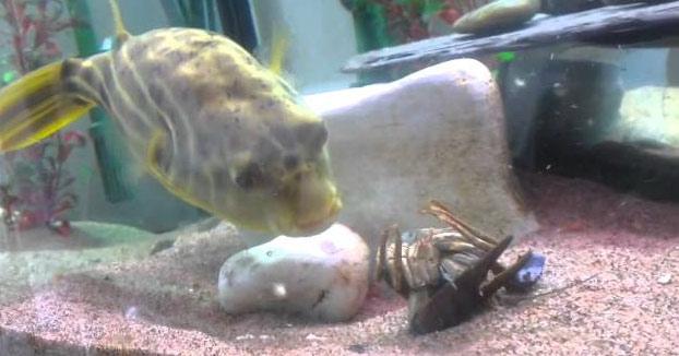 Nunca le toques las narices a este pez o te hará pedazos