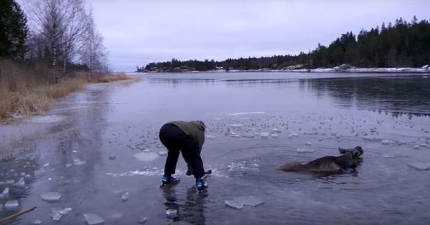 Salvan a un alce a punto de morir congelado en el lago (Vídeo)